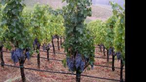 Winorośl przeznaczona na wina cabernet w Spring Mountain w kalifornijskiej Dolinie Napa