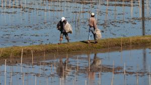 Doświadczalne pole ryżowe